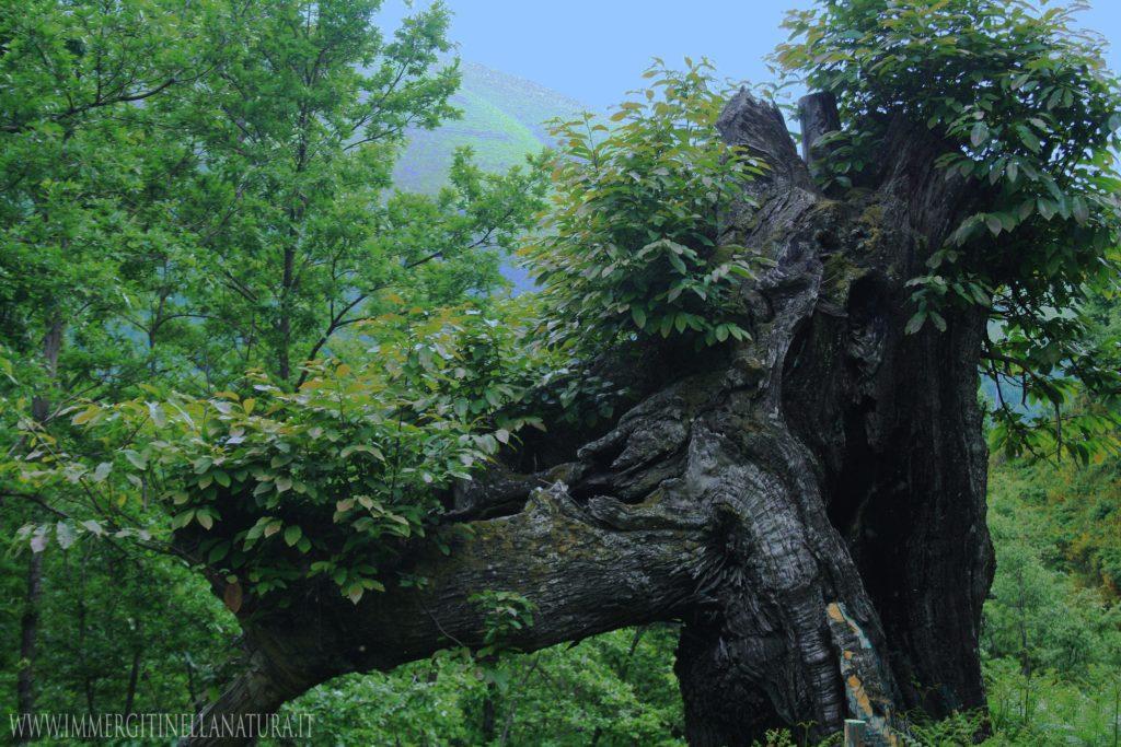 Castagno monumentale , dei tempi di Nino Bixio